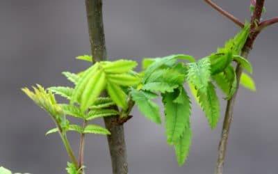 Træplantning og Covid-19 i Vietnam, Nepal og Uganda