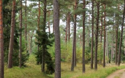 """""""Møllebanden"""" planter skovfyr"""